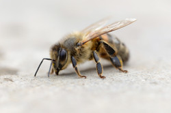 2820_Honey Bee_Anthony Johnstone