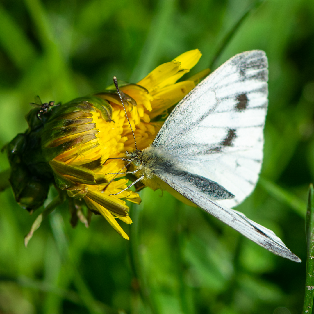 Large White on Dandelion_Phillip White