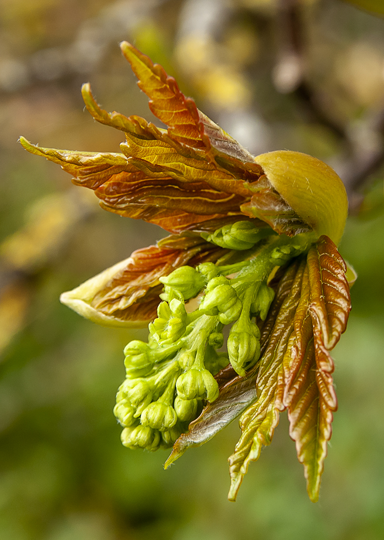 Sycamore Flower Opening_Ian Gregory