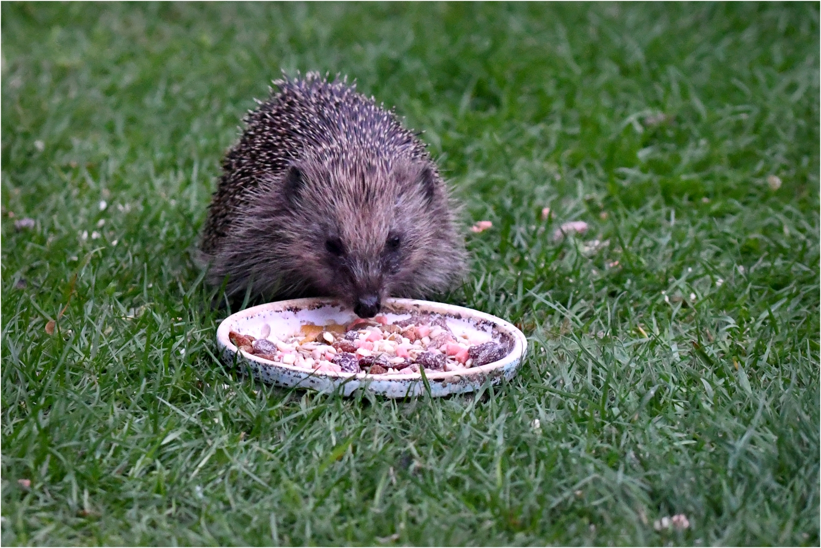 5042_Hedgehog_David Mitchell