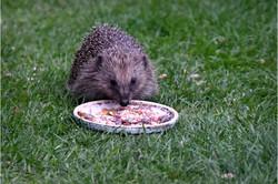 5042_Hedgehog_David Mitchell