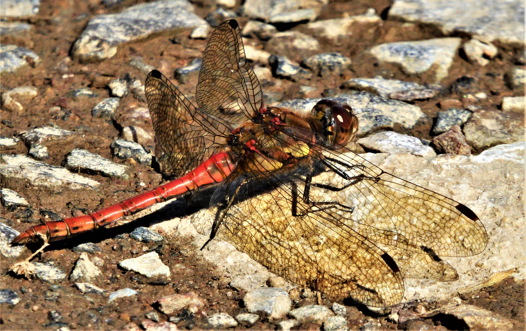 2079_Common Darter_Gilly Linton