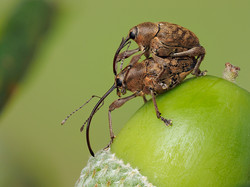 037  Acorn weevils Curculio glandium