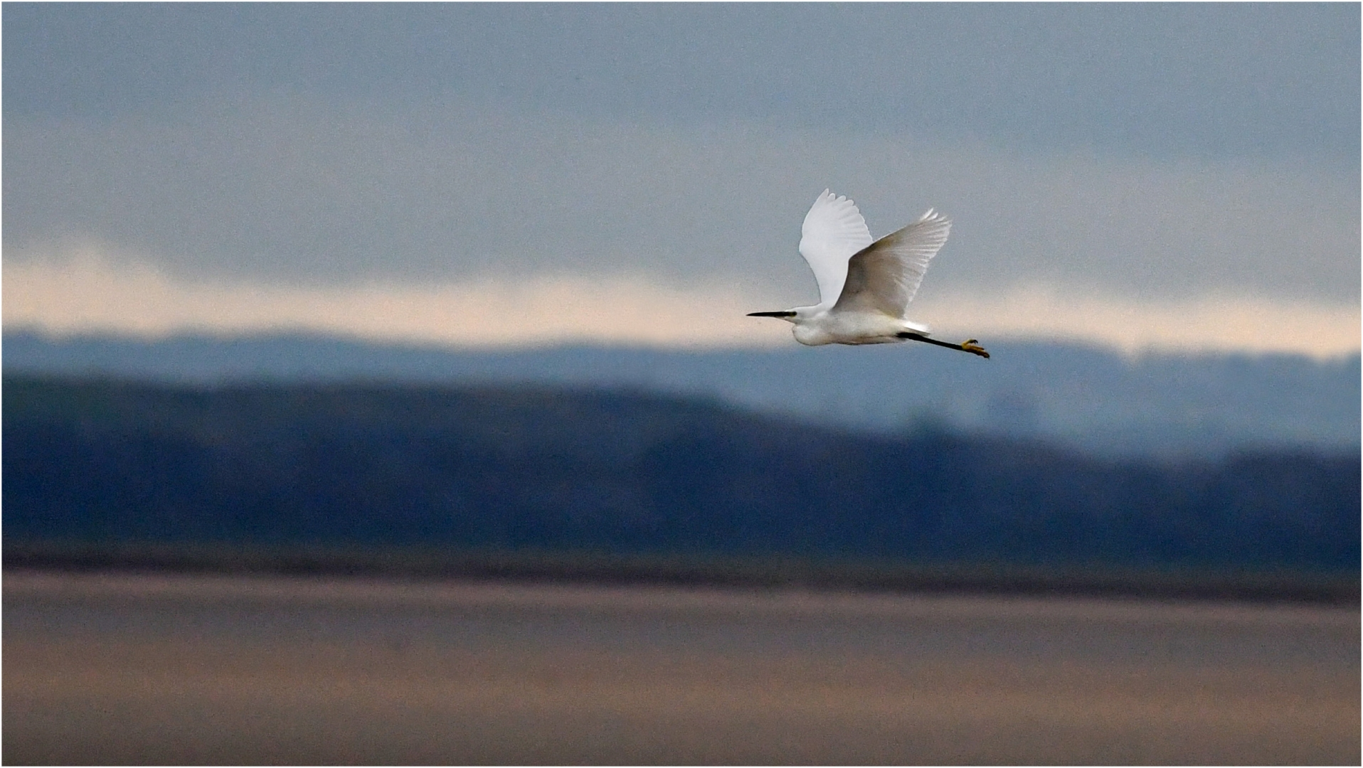 7827_Little Egret In Flight_David Mitche