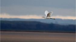 7827_Little Egret In Flight_David Mitche