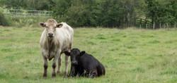 Brace of cattle_Tim Parmley
