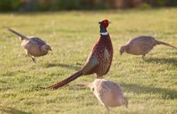 Pheasant3_Steve Jeffrey