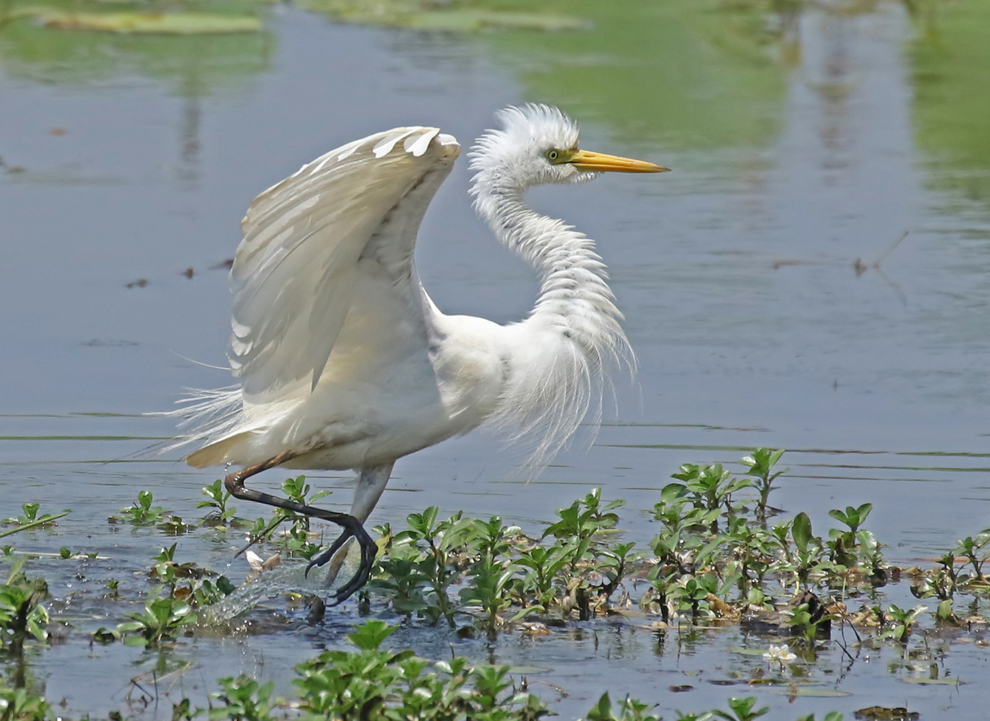 TB03  Intermediate Egret