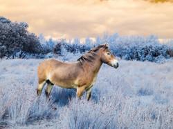 4864_Exmoor Pony_Martin Riley