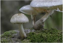 2999_Porcelain Fungus_Anthony Johnstone.
