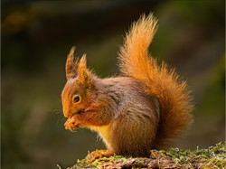 TB11  Red Squirrel
