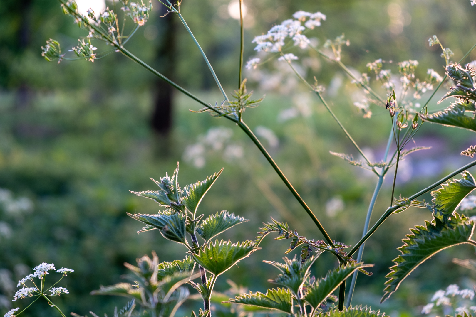 Nettles in the evening sun_Catherine Whi