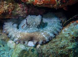 Octopus hideaway_Tim Parmley