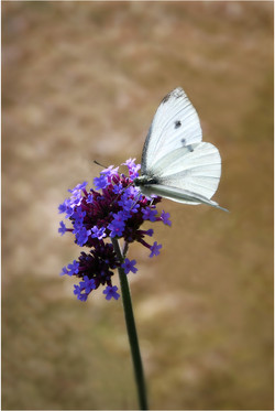 White Butterfly_David Mitchell