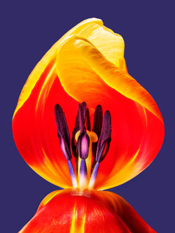 Tulip Revealed