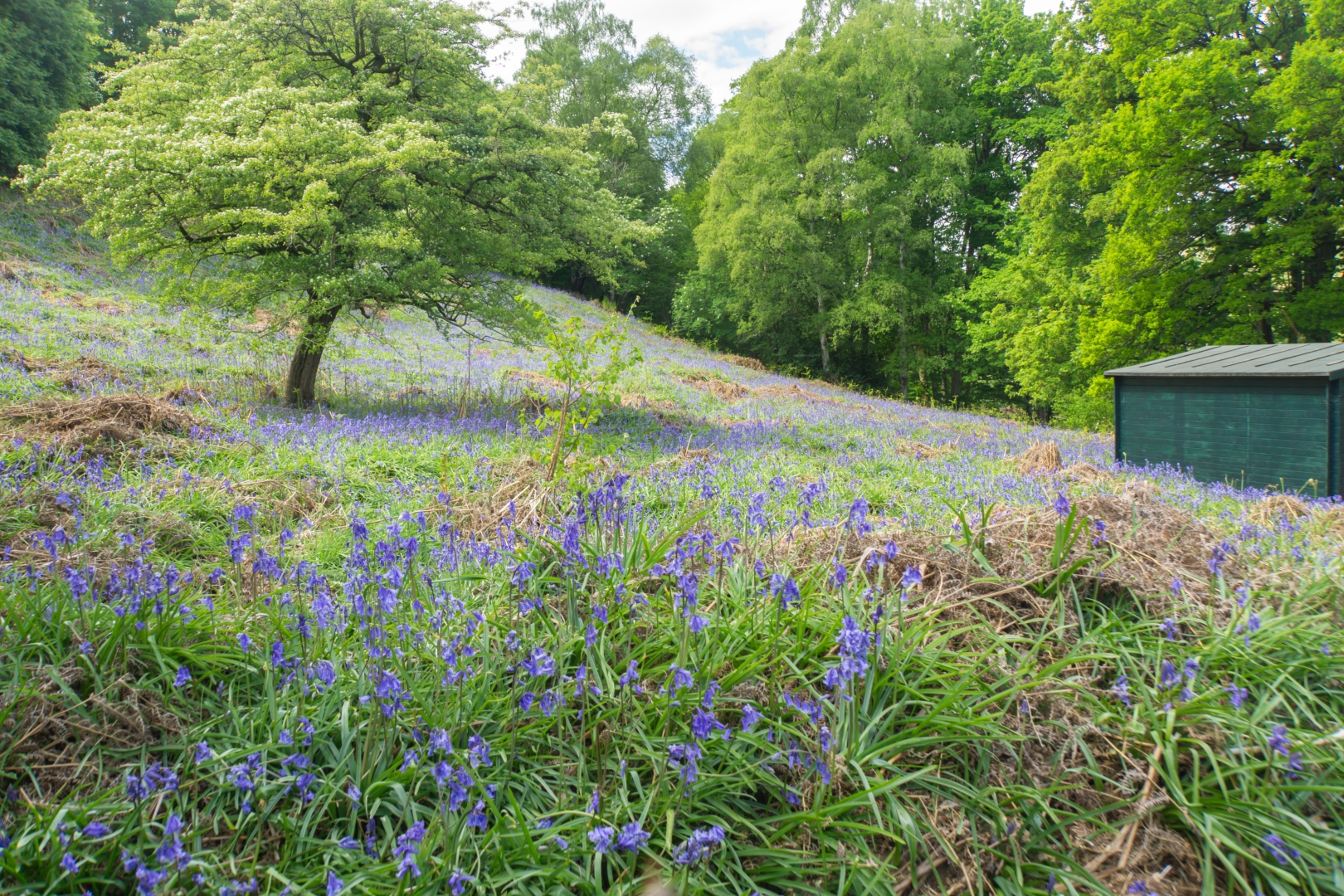 Bluebells_Tim Parmley