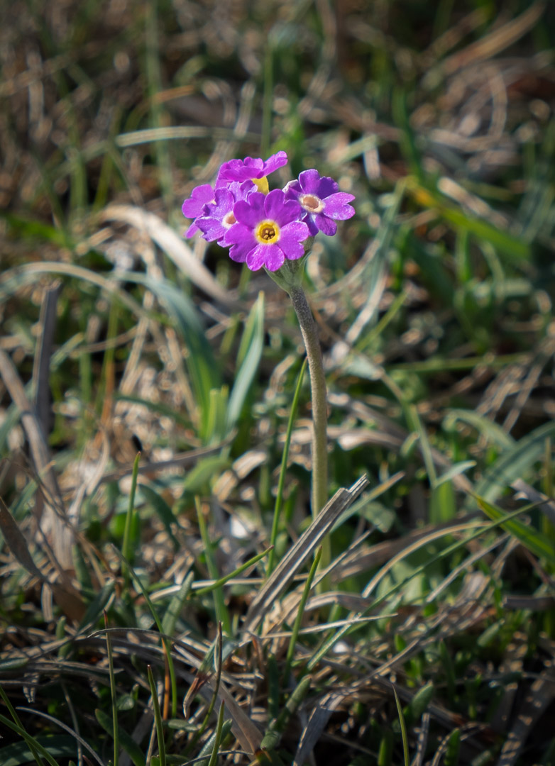 6162_Scottish Primrose_John Reed