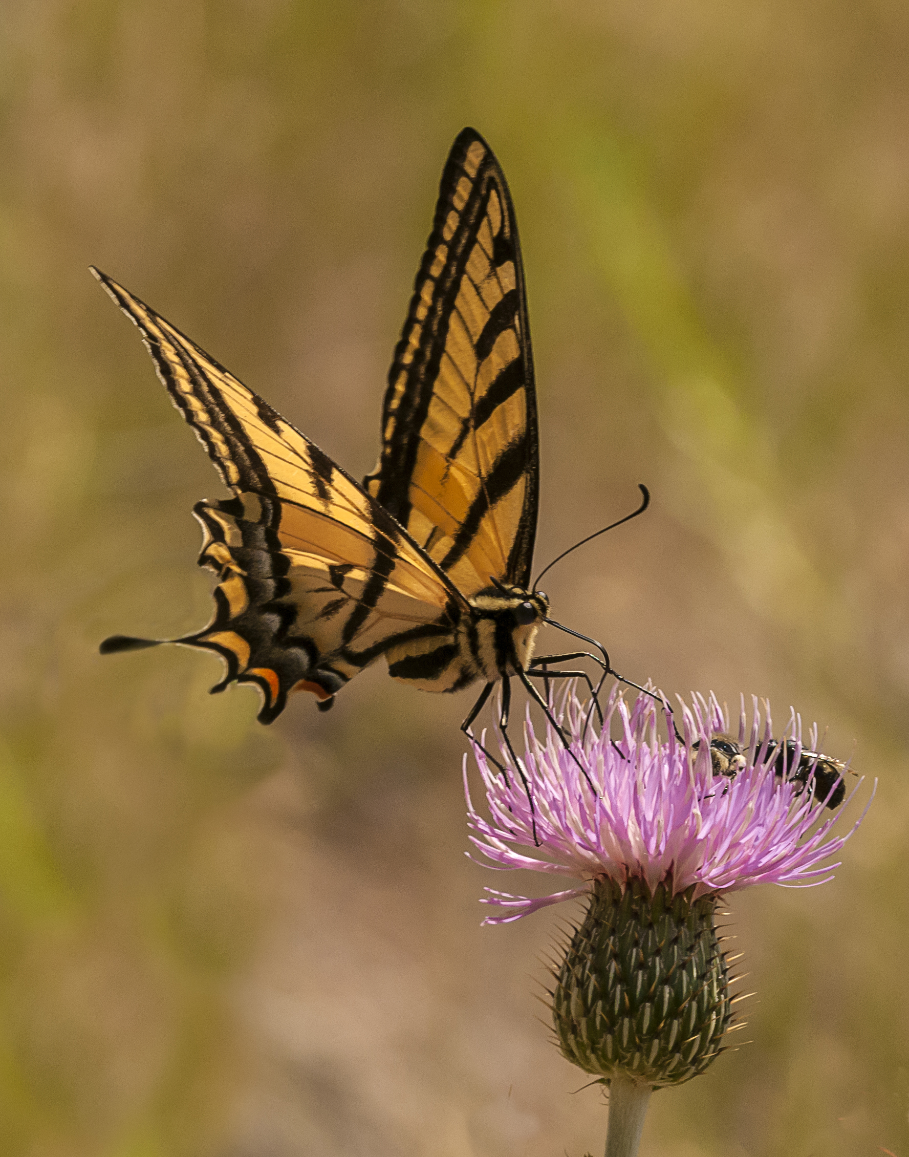 Western Tiger Swallowtail