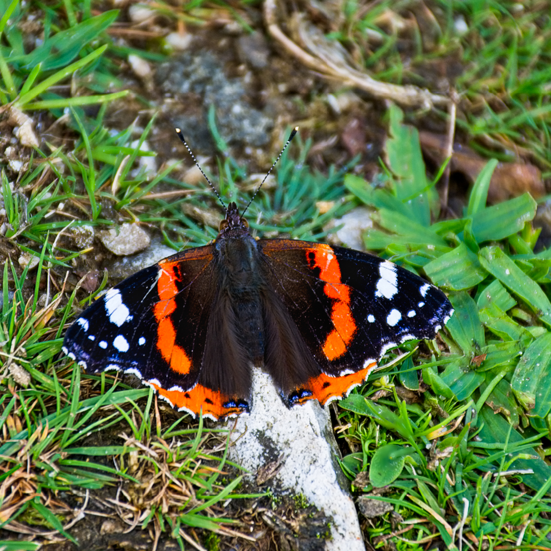 Resting Red Admiral_Phillip White