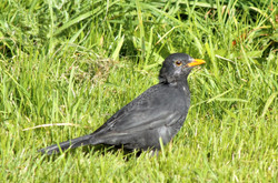 9551_Blackbird On The Lawn_Donald McCutc
