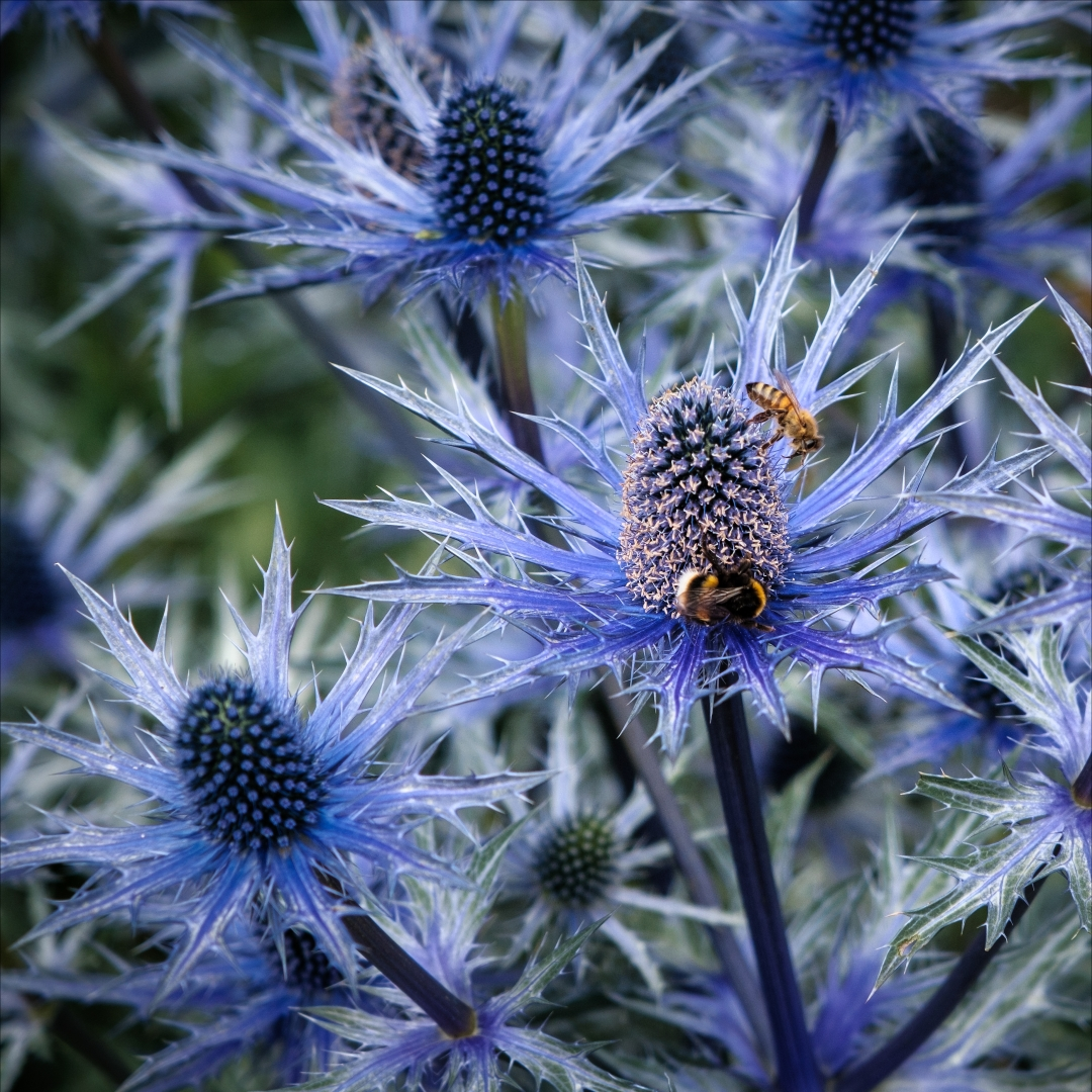 7228_Eryngium - Alpine Sea Holly_Alan Pe