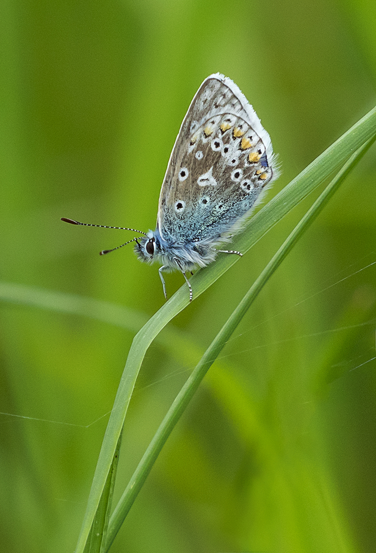 Common Blue_Ian Gregory