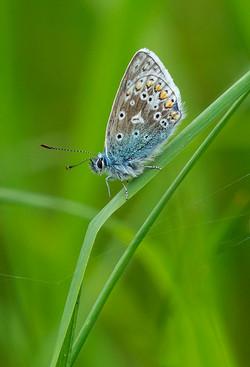 Common Blue_Ian Gregory