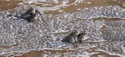 4623_Common Frogs_John Reed