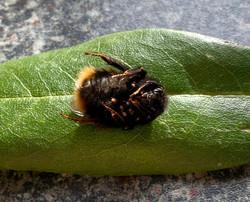 Pregnant Bee_Martin Riley