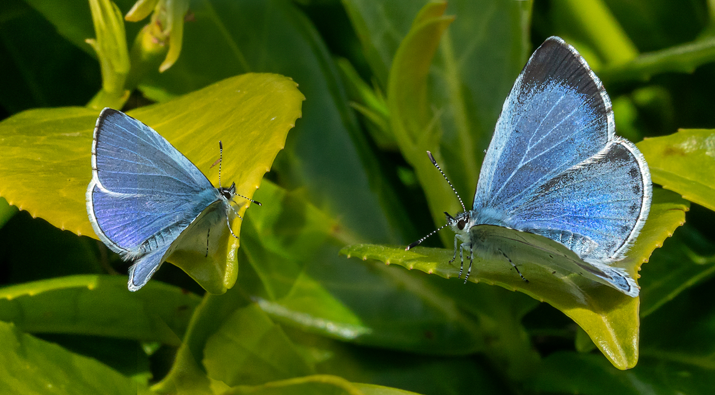 C9 Holly Blues