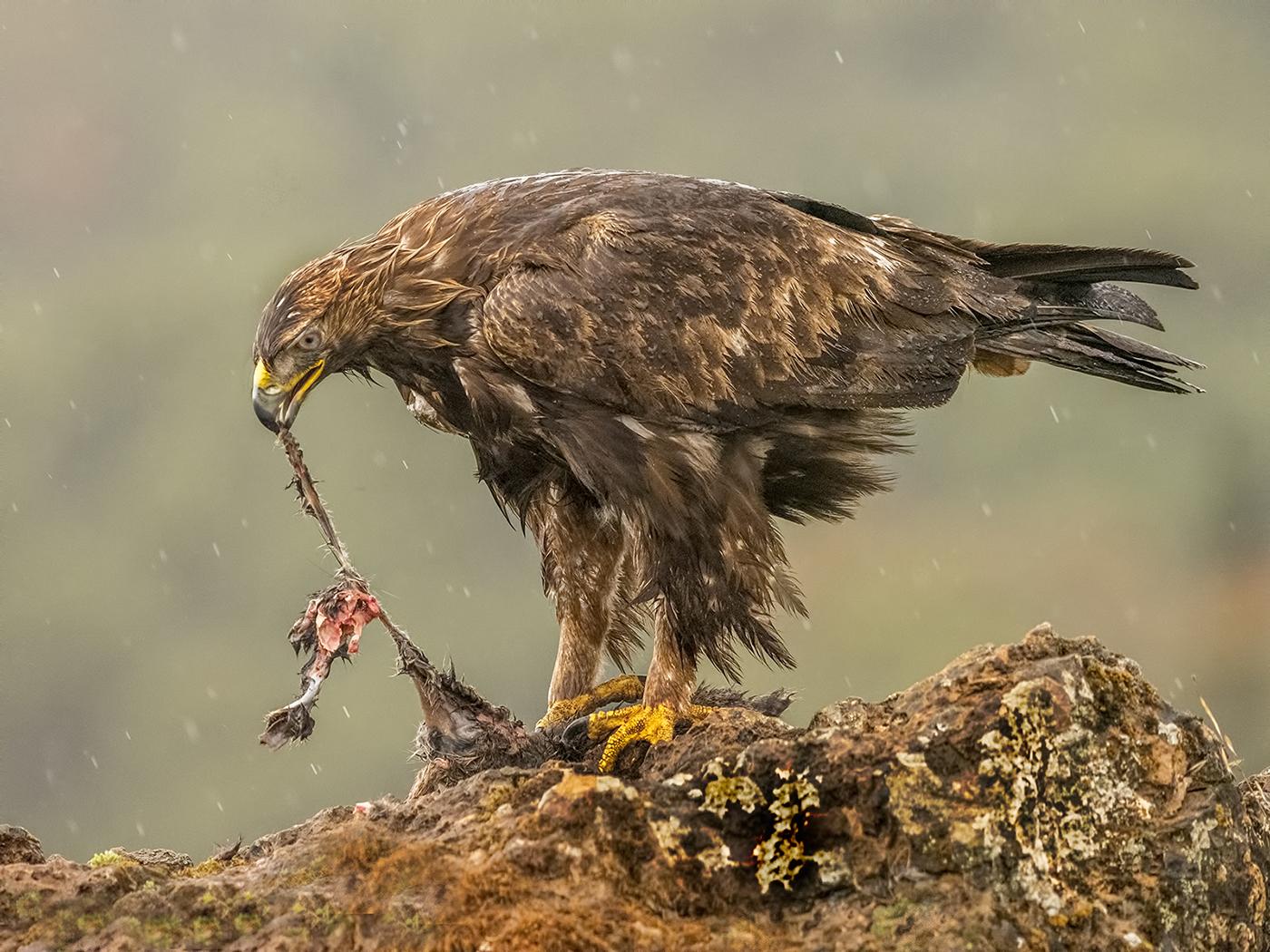 018  Golden Eagle