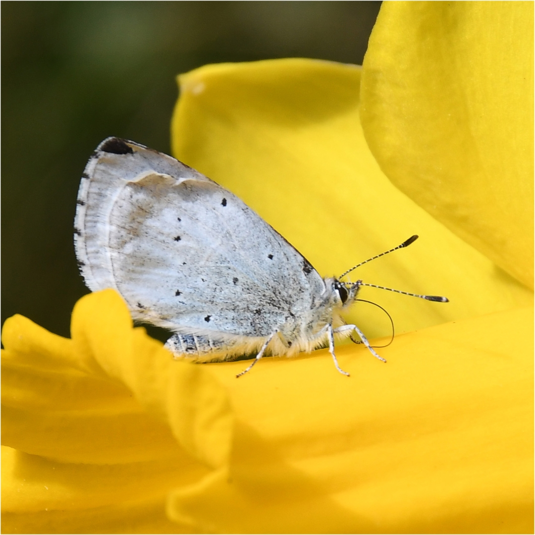 Holly Blue_David Mitchell