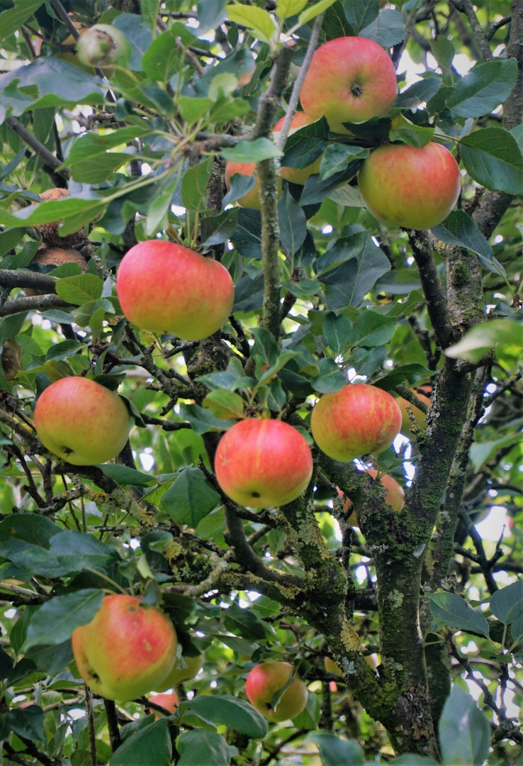 3120_Apple Tree_Donald McCutcheon