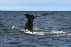 David Mitchell_Whale Diving