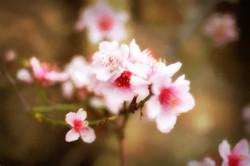 Blossoming_Sue Thomas