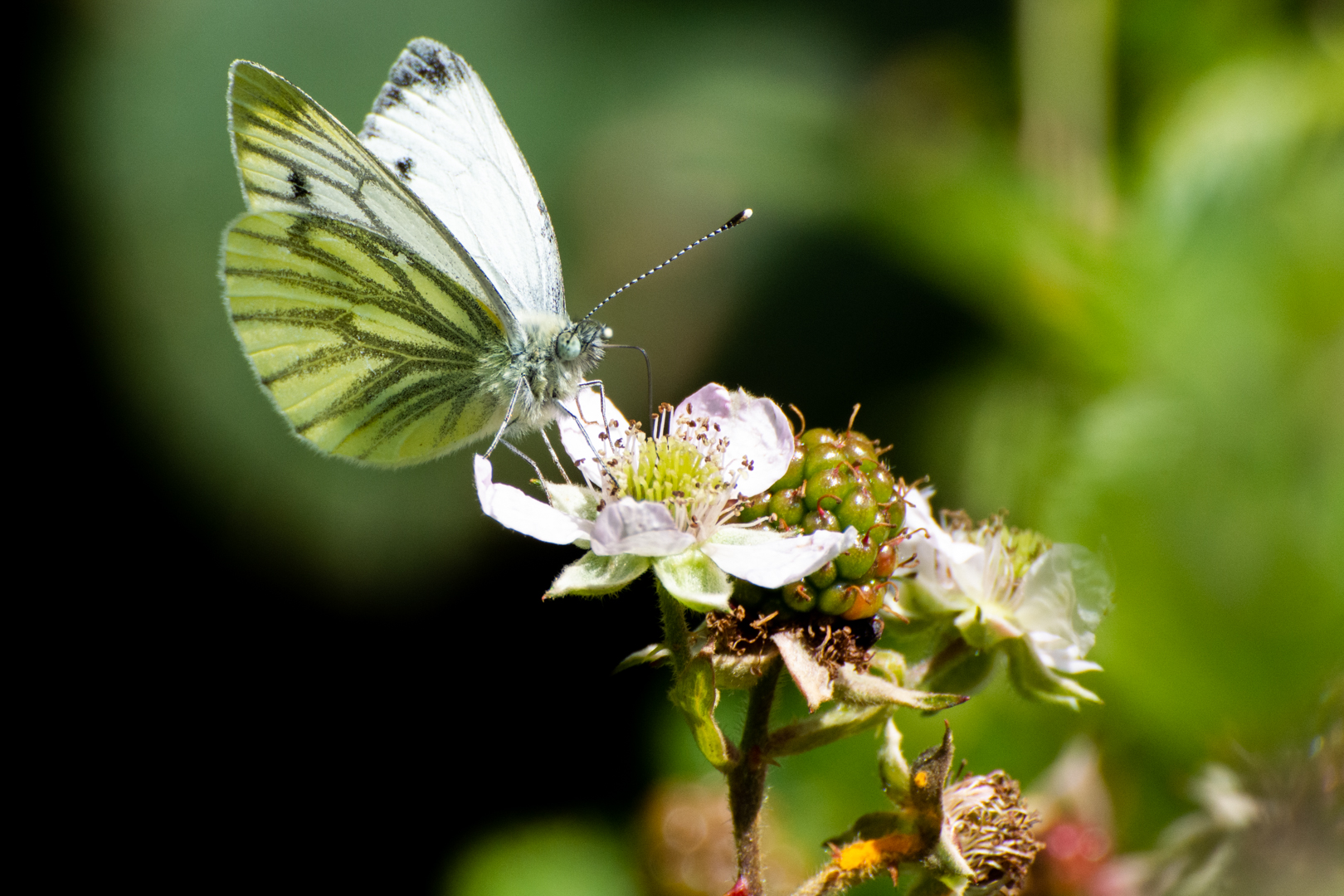 Large White on Brambles_Phillip White