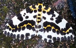 Magpie Moth_Martin Riley