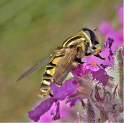 0821_Hoverfly_Gilly Linton