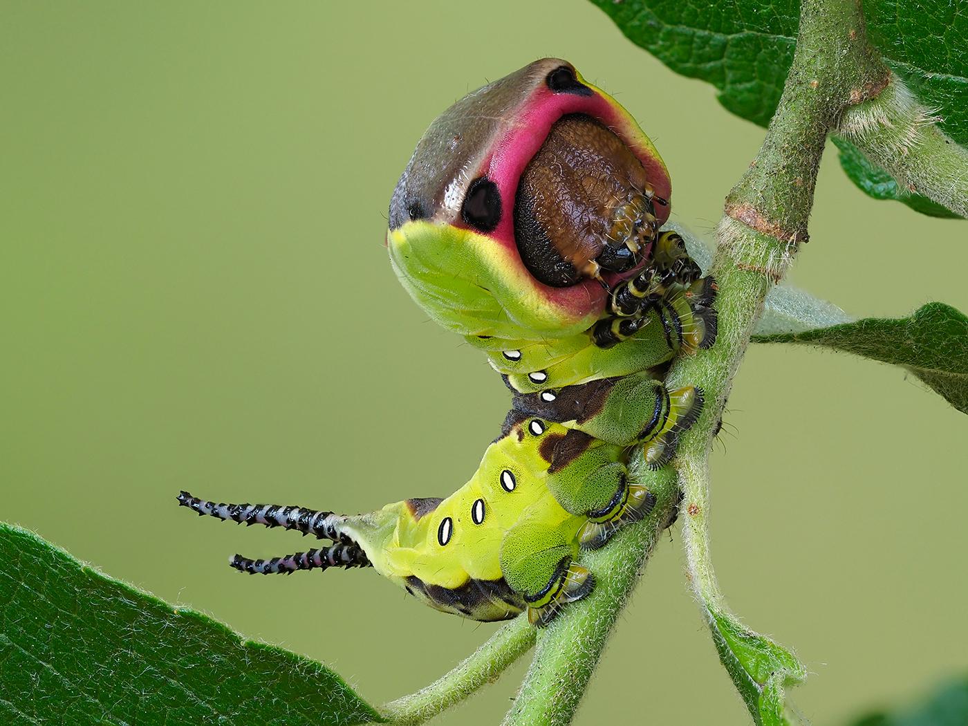 TB12  Puss moth larva