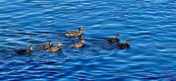 7 Little Ducks_Martin Riley