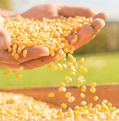 Popcorn-Mais aus Steyr-Land, OÖ