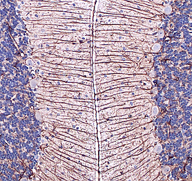 GFAP IHC Rat cerebellum 3.png