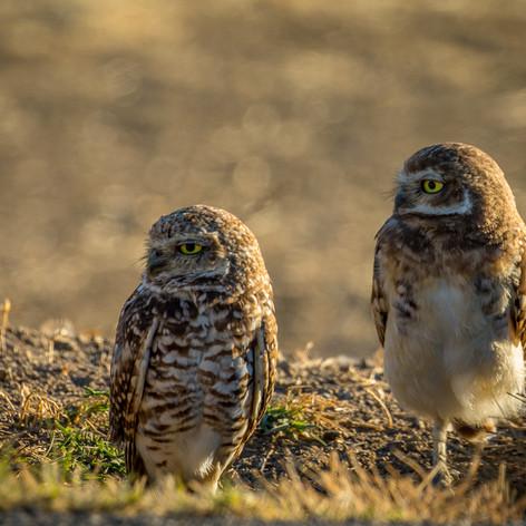 BORROWING OWLS.jpg