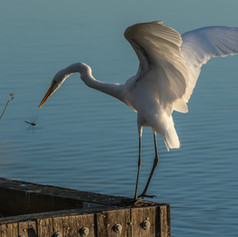 EGRET AND DRAGONFLY.jpg