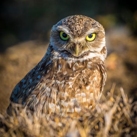 BORROWING OWL.jpg