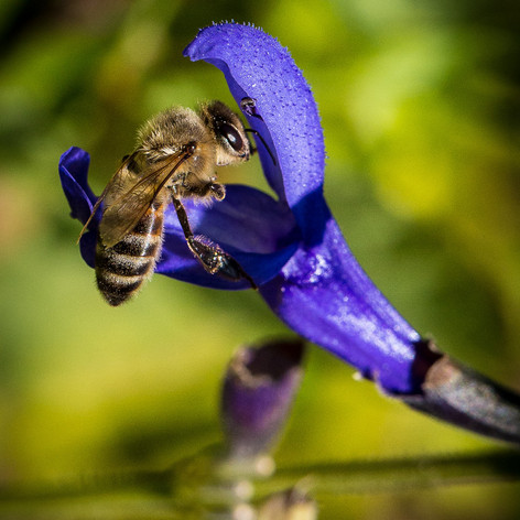 HONEY BEE..jpg