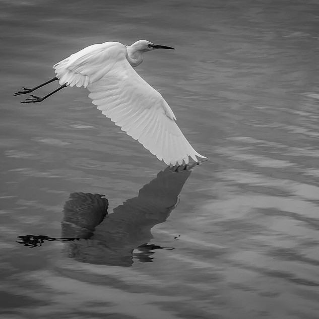 EGRET REFLECTION.jpg