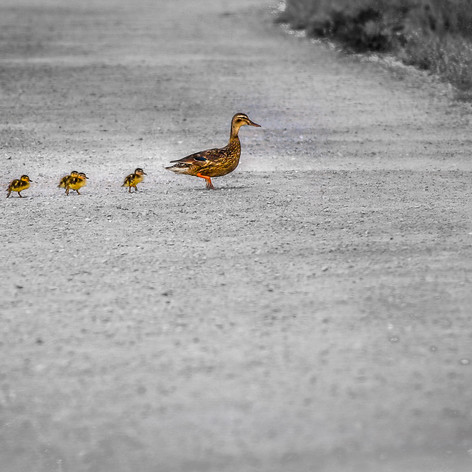 MOTHER AND CHICKS.jpg