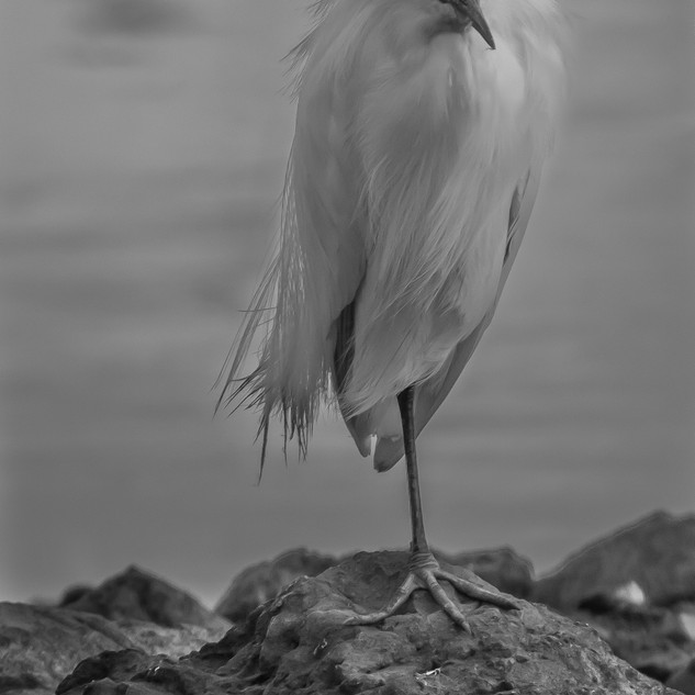 OLD MAN EGRET .jpg