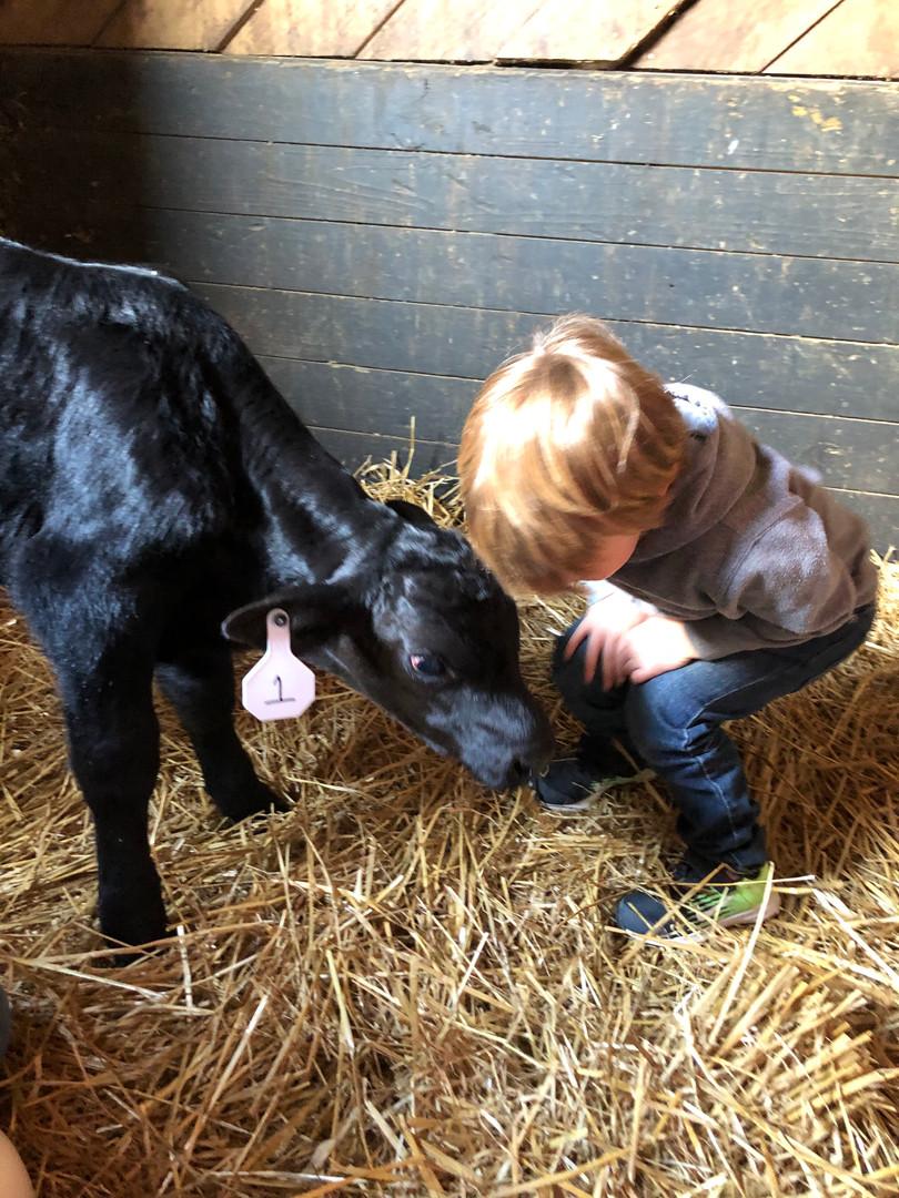 Feeding the baby bull calf